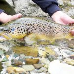 wild-brown-torut-creek-lipnica-slovenia-2015