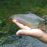 dry-fly-fishing-grayling-river-ljubljanica-slovenia