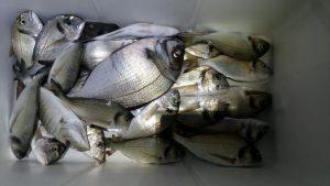 Poleti imamo iz čolna ob obali več možnosti za ribolov na razne šparide (orade, ribone …).