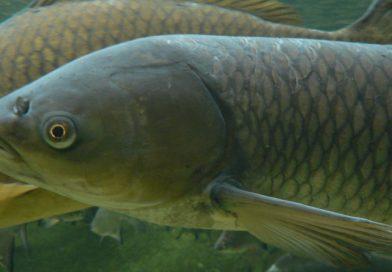 Poznate domorodne in tujerodne ribe pri nas?