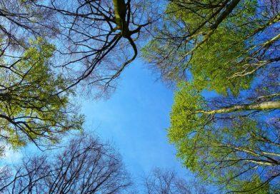 Najvišje drevo pri nas je visoko skoraj kot ljubljanski Nebotičnik