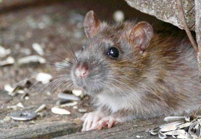Kaj jedo podgane?