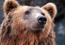 Koliko medvedov je v Sloveniji?
