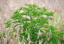 Obdobje alergenega cvetnega prahu ambrozije je tu